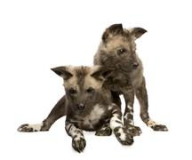 African wild dog cub (9 weeks) - Lycaon pictus - stock photo