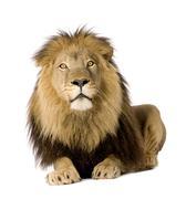 Lion (4 and a half years) - Panthera leo - stock photo