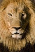 Close-up on a Lion's head (4 and a half years) - Panthera leo - stock photo