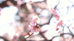 Pink cherry plum flowers blooming in springtime swining in the wind - stock footage