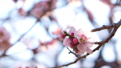 Pink cherry plum flowers blooming in springtime swining in the wind Stock Footage