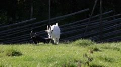 Goats engaging in a play fight Stock Footage