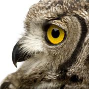 Spotted Eagle-owl - Bubo africanus (8 months) Stock Photos