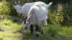 Three goats nibbling on mountain ash leaves Stock Footage