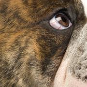 English Bulldog (6 months) Stock Photos