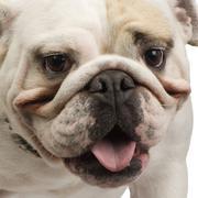 English Bulldog (18 months) Stock Photos