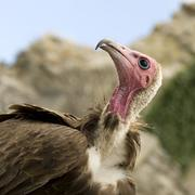 Turkey Vulture - Cathartes aura Stock Photos