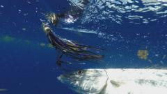 Great Barracuda (Sphyraena barracuda) in the Florida Keys Stock Footage