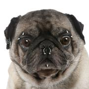 Portrait of pug with nose and face piercings in front of white b Stock Photos