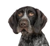 German Shorthaired Pointer (4 years) - stock photo
