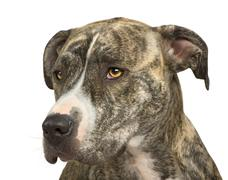 American Staffordshire terrier (18 months) - stock photo