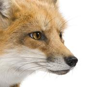 Red fox (4 years)- Vulpes vulpes - stock photo