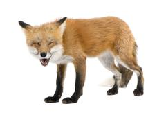 Red fox turned off by something (4 years)- Vulpes vulpes Kuvituskuvat