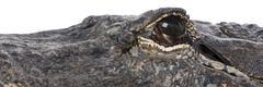 American Alligator (30 years) - Alligator mississippiensis - stock photo