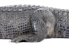 American Alligator (30 years) - Alligator mississippiensis Stock Photos