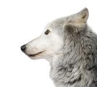 Mackenzie Valley Wolf (8 years) - Canis lupus occidentalis - stock photo