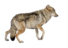 old European wolf - Canis lupus lupus - stock photo