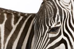 Zebra (4 years) - stock photo