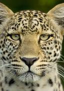 Leopard in the serengeti national reserve Stock Photos