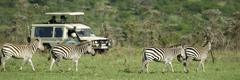 zebras passing in front of 4X4 - stock photo