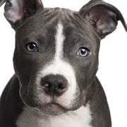 American Staffordshire terrier puppy (3 months) - stock photo