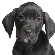 Puppy Great Dane (2 months) Stock Photos