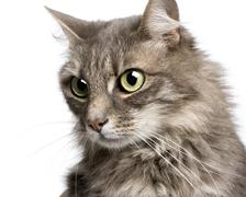 close-up on a Crossbreed angora cat and european cat (9 years) - stock photo