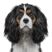 Cavalier King Charles puppy (10 months) (Digital enhancement) - stock photo