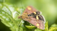 Mint Moth on mint - stock photo