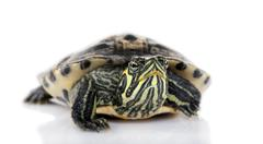 Turtle facing the camera - Acanthochelys Stock Photos