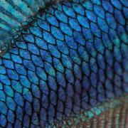 Close-up on a fish skin - blue Siamese fighting fish - Betta Spl Stock Photos