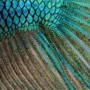 Close-up on a fish skin - blue Siamese fighting fish - Betta Spl Kuvituskuvat