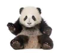 Giant Panda (6 months) - Ailuropoda melanoleuca - stock photo
