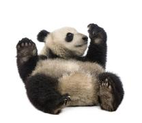 Giant Panda (18 months) - Ailuropoda melanoleuca - stock photo