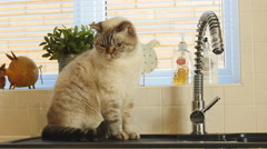 Two Alejandro Shorthair cats on kitchen sink 4K Stock Footage
