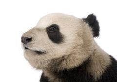 Giant Panda (18 months) - Ailuropoda melanoleuca - stock photo