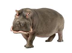 Hippopotamus - Hippopotamus amphibius ( 30 years) Stock Photos