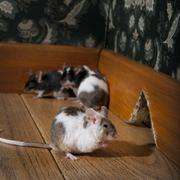 Group of mice walking in a luxury old-fashioned room Stock Photos