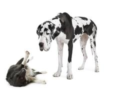 harlequin Great Dane (4 years)  looking down at a - stock photo