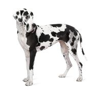 Great Dane (4 years old) Stock Photos