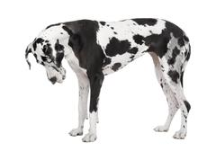 Great Dane (4 years old) - stock photo