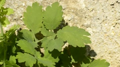 Stock Video Footage of Celandine, Chelidonium majus, medicinal herb