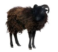 Black shhep - Ouessant ram (4 years old) Stock Photos
