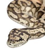 carpet python - Morelia spilota variegata - stock photo