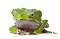 Giant leaf frog, Phyllomedusa bicolor, sitting in front of white background, stu Stock Photos