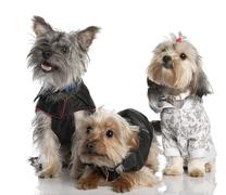 Group of three Yorkshire Terrier (2 years old and 8 months) Stock Photos