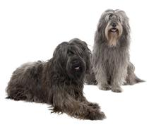 Catalan Sheepdog (6 and 3 years old) Stock Photos