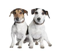 couple of two Jack russells (2 and 3 years old) - stock photo