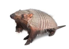 Armadillo - Dasypodidae - Cingulata Stock Photos