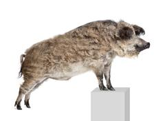 Mangalitsa or curly-hair hog standing on pedestal in front of wh - stock photo